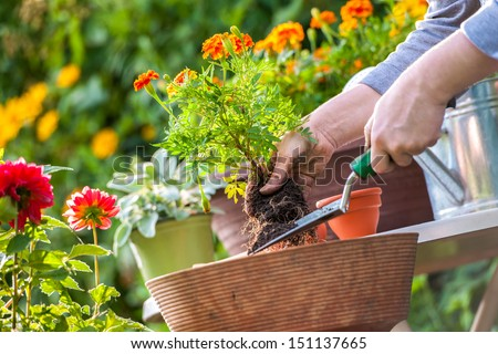 Gardeners hand planting flowers in pot with dirt or soil #151137665