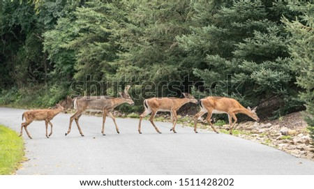 Group of white-tailed deer (Odocoileus virginianus) crossing a road. #1511428202