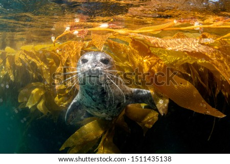 An adorable harbor seal in Southern California's Channel Islands swims out of the kelp and briefly stares into my camera for a picture.