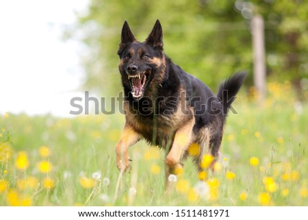 Attacking dog. Aggressive german shepard dor run close with opened mouth and show teeth frontal Royalty-Free Stock Photo #1511481971