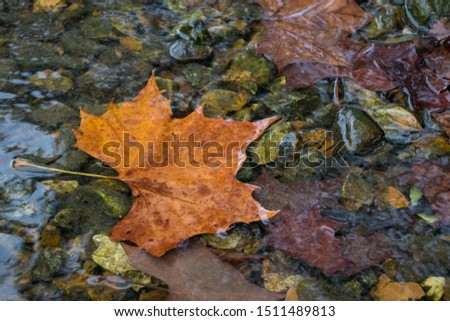 Single Autumn fall colored leaf laying in creek surrounded by river rocks. #1511489813