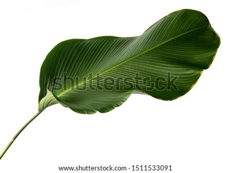 Calathea lutea foliage, (Cigar Calathea, Cuban Cigar), Exotic tropical leaf, Calathea leaf, isolated on white background with clipping path.  #1511533091