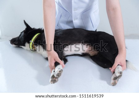 veterinary have control and restraint a dog to immunize for control and prevention of rabies disease ,animal restraint concept Royalty-Free Stock Photo #1511619539