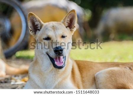 Thai dog laying on the field #1511648033