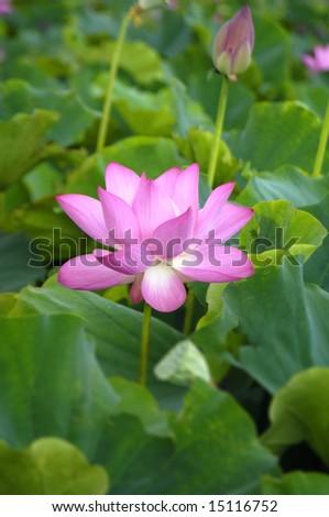 Beautiful lotus #15116752