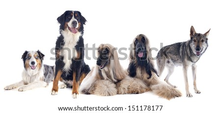 five large dogs in front of white background #151178177