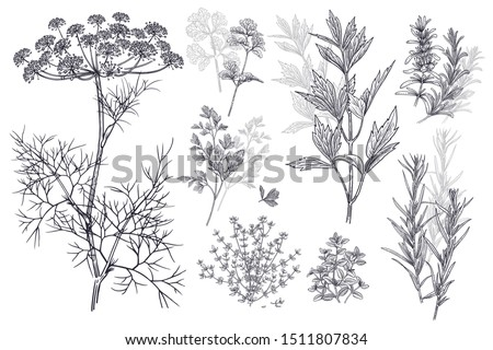 Dill, coriander or cilantro, thyme, parsley, lovage, estragon or tarragon, rosemary. Illustration of garden fragrant herbs. Spice for flavouring food. Isolated black plant on white background. Vector. #1511807834