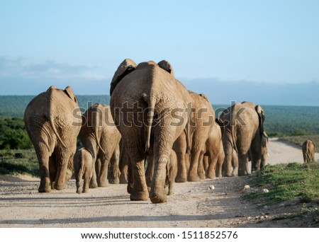 Elephant herd on the move close to sunset in South African countryside #1511852576