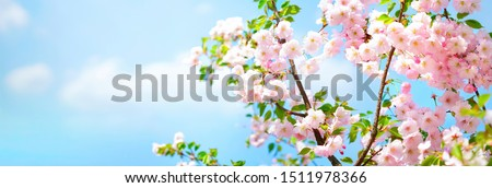 Blossoming cherry on background blue sky and white clouds in spring on nature outdoors. Pink sakura flowers, amazing colorful dreamy romantic artistic image spring nature, banner format, copy space.