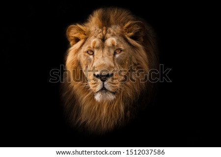 Powerful calm and confident maned male lion with yellow (amber) eyes resembling a king imposingly. portrait in isolation, black background. #1512037586