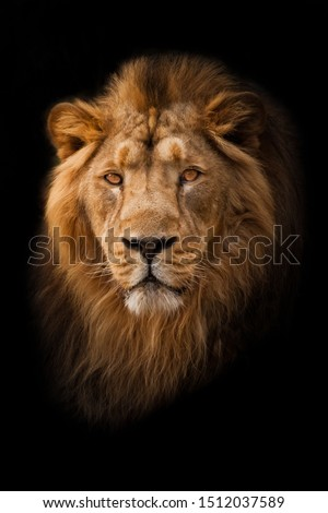 Powerful calm and confident maned male lion with yellow (amber) eyes resembling a king imposingly. portrait in isolation, black background.