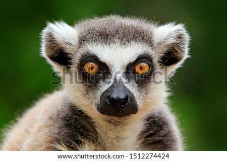 Lemur face, close-up portrait of Madagascar monkey.  Ring-tailed Lemur, Lemur catta, with green clear background. Animal from Madagascar, Africa, orange eyes.