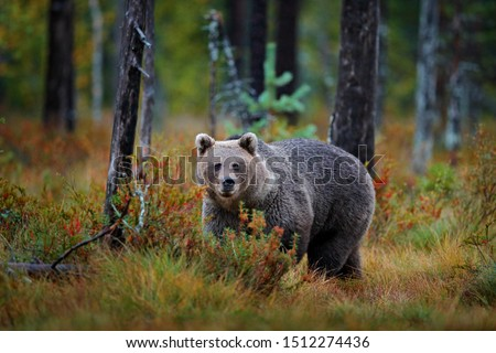 Bear hidden in yellow forest. Autumn trees with bear, face portrait. Beautiful brown bear walking around lake, fall colours, Romania wildlife. #1512274436