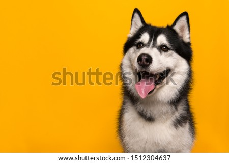Portrait of a siberian husky looking at the camera with mouth open on a yellow background #1512304637