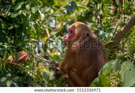 Stump-tailed macaque, (Macaca arctoides) in Thailand #1512336971