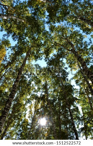 Bottom view of the high crowns of birches in the forest with green foliage with green foliage at sunny summer day on background of blue sky and white clouds against bright rays of sun shine and glare #1512522572