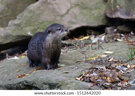 The Asian small-clawed otter (Amblonyx cinerea), also known as the oriental small-clawed otter or simply small-clawed otter on the rock.
