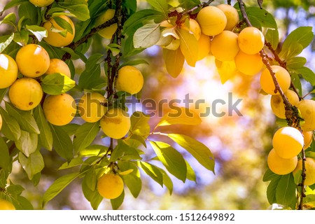 plum tree with ripe yellow plums #1512649892