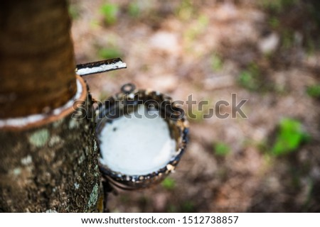 Tapping latex rubber tree, Rubber Latex extracted from rubber tree, harvest in Thailand. #1512738857