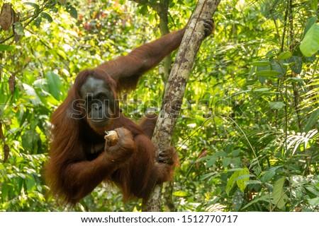 Orangutan from the island of Borneo in its natural habitat #1512770717
