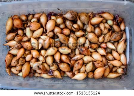 Fresh onions. Onions background. Ripe onions. Onions in market #1513135124