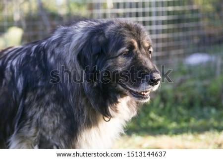 Caucasian Shepherd loyal guard Dog #1513144637