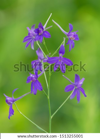 Consolida regalis known as forking larkspur, rocket-larkspur and field larkspur #1513255001