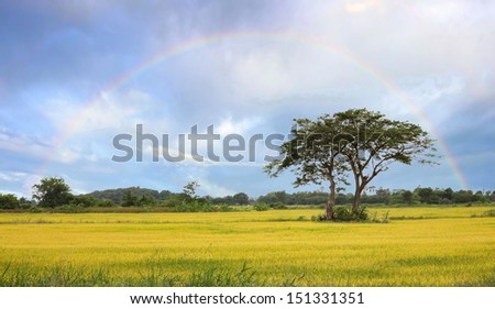 Rice field and two tree under cloudy sky with rainbow Photo.