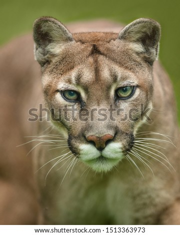 Close-up of a cougar walking straight towards the camera