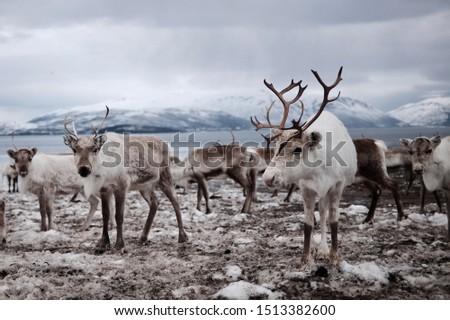 Herd of reindeer on field Royalty-Free Stock Photo #1513382600