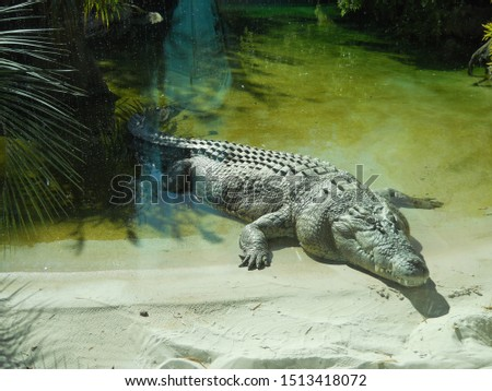 Nile Crocodile Full Body Out of Water #1513418072