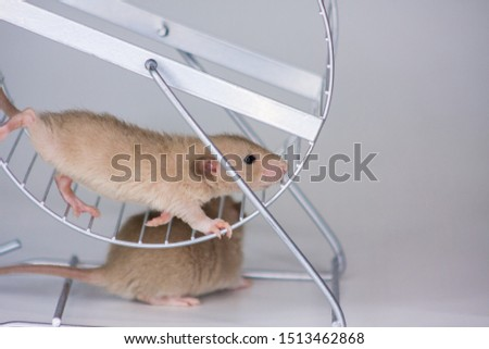 The concept of fuss. The rat runs in the wheel. The mouse turns a special wheel for rodents. Decorative rodents closeup. #1513462868