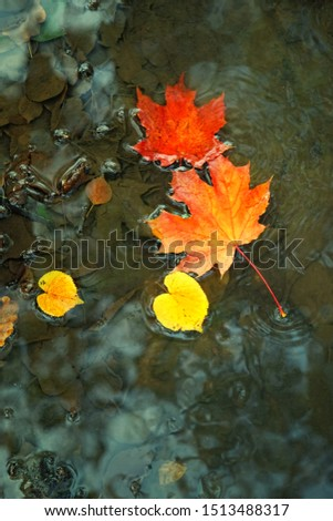 bright maple leaves in puddle. fall season background concept. autumn atmosphere. top view, copy space #1513488317