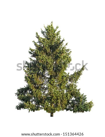 Natural big green fir tree isolated on white #151364426