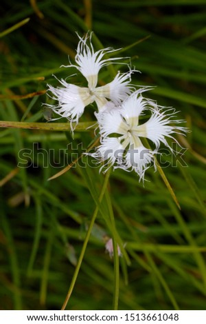 White flowers of fringed pink #1513661048