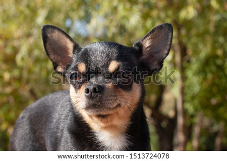 Chihuahua is sitting on the bench. Pretty brown chihuahua dog standing and facing the camera. chihuahua has a cheeky look. The dog walks in the park. Black-brown-white color of chihuahua.  dog #1513724078