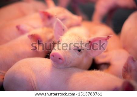 Pilets under hatching light in swine farm. #1513788761
