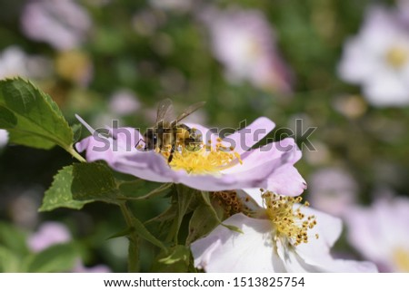 Honey bee Apis Mellifera is collecting pollen on white flower of bush dog rose. Latin rosa canina, similar to a sweet briar also called eglantine state flower or state symbol of Iowa and North Dakota #1513825754