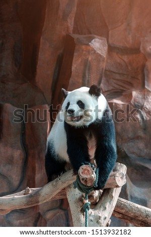 Cute giant panda or Ailuropoda melanoleuca enjoy playing at the zoo. Adorable big bear with beautiful fur. Endangered wild animal, native in China. National animal symbols of China. #1513932182