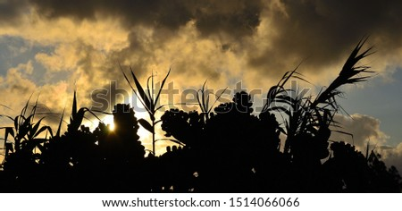 Backlit prickly pear with many fruits, reeds and cloudy sky at sunrise #1514066066