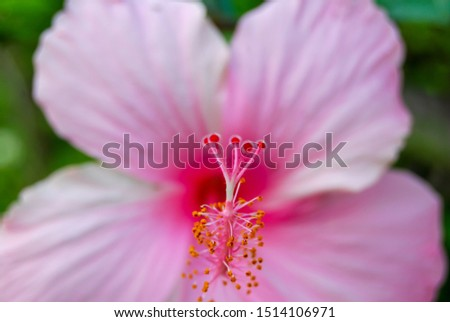 Pink hibiscus flower, hibiscus flower pattern, flower at spring day  #1514106971