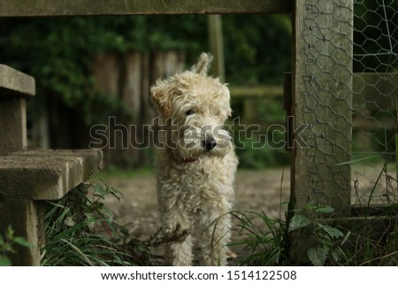 A Lakeland Terrier passing through a countryside gate.  #1514122508