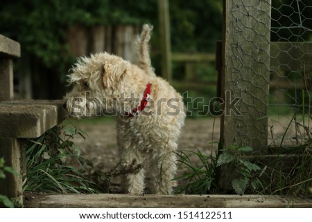 A Lakeland Terrier passing through a countryside gate.  #1514122511