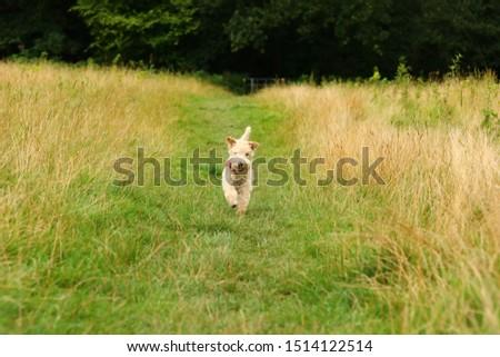A Lakeland Terrier running through a rural field.  #1514122514