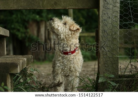 A Lakeland Terrier passing through a countryside gate.  #1514122517