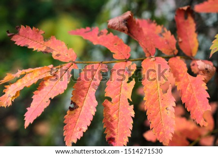 Bright red Burgundy leaves in the autumn forest macro close up #1514271530