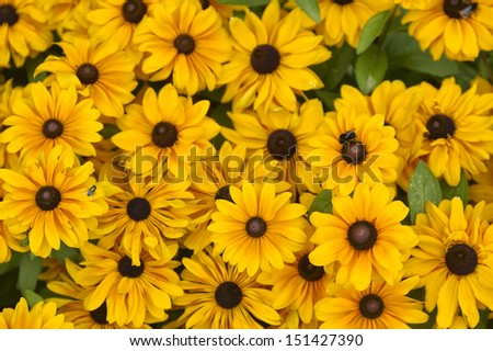 A lot of rudbeckia flowers in a green meadow #151427390
