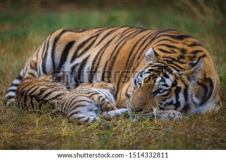 Mother tigress feeds her cute kittens. #1514332811
