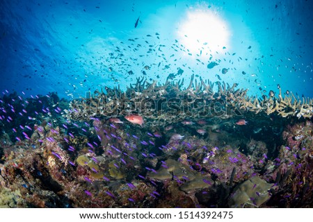 Large schools of various species of colorful reef fish schooling above healthy coral reef #1514392475