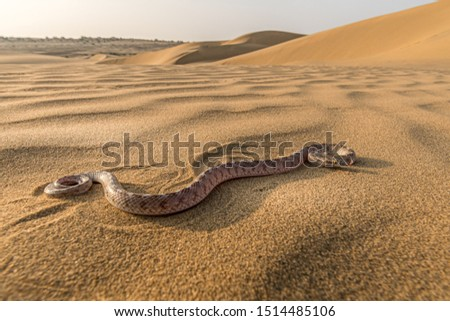 This image of Sind Awl Headed Snake is taken at Rajasthan in India. Royalty-Free Stock Photo #1514485106